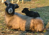 Our ewe Farrica with her lamb Carina