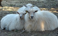 One of our ewes with her twins