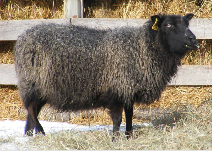 Silky black polled ewe